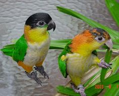 Caique. Black-headed Parrot and White-bellied Parrot
