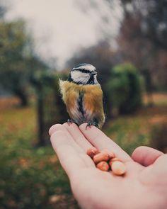 """72.1k Likes, 516 Comments - Konsta Punkka (@kpunkka) on Instagram: """"~ Whispering in my home town Helsinki. Beautiful blue tit bird calmly sitting on my hand."""""""