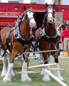 I could never get tired of looking at Budweiser's Clydesdales. The tack is so impressive to go along with their beauty. Clysdale Horses, Work Horses, Draft Horses, Show Horses, Breyer Horses, Caballos Clydesdale, Clydesdale Horses Budweiser, All The Pretty Horses, Beautiful Horses