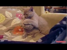 Awwww, its so cute ! Enjoy watching this cute cats video. Funny Home Videos, Pet Videos, Funny Animal Videos, Funny Animals, Cute Cat Gif, Cute Cats, A Funny, Funny Cats, Cute Puppies