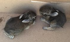 Our neighbor rescued bunnies from a cat. The cat was just doing what cats do but these poor little bunnies were hurt and scared! #babybunnies #cat #easter #nature #socute #bunny