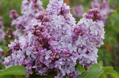 Lilacs ....ooooh the fragrance of spring!