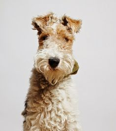 Top 5 Most Talkative Dog Breeds - fox terriers most talkative breed. Terrier Airedale, Perro Fox Terrier, Wirehaired Fox Terrier, Pitbull Terrier, Welsh Terrier, Wire Fox Terriers, Wire Fox Terrier Puppies, Wire Haired Terrier, Lakeland Terrier