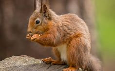 Success! After 315,000 Sign Care2 Petition, Red Squirrels in Scotland are Safe
