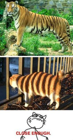 Funny pictures about The cat who thought he was a tiger. Oh, and cool pics about The cat who thought he was a tiger. Also, The cat who thought he was a tiger. Funny Photos Of People, Funny Images, Funny Pictures, Animal Pictures, Funny Cats, Funny Animals, Cute Animals, Animal Funnies, Funny Tiger