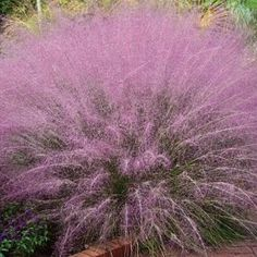 Cotton Candy Grass: Perennial, drought tolerant, adds that touch of whimsy to the garden.