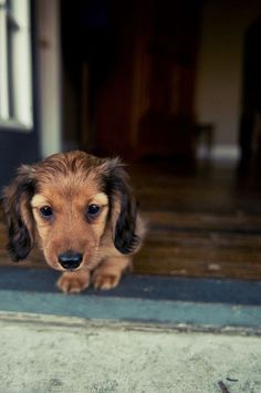 Long-haired Dachshunds <3