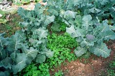 Article on designing a cropping system that minimizes niches for weed growth. (planting within cover crops)
