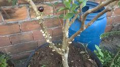 como fazer jabuticaba e outra frutas produzir podar e adubar