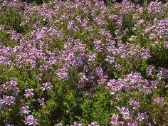 Pelargonium crispum Garden, Plants, Garten, Lawn And Garden, Gardens, Plant, Gardening, Outdoor, Yard