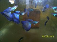 Luke's Guppy Pics & Prices  Blue Moscow guppies