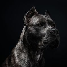 If you want to know the latest names or ideas that you can name to your American Bully and Pitbull, Here are the Updated list of names you can use to your dogs. Chien Cane Corso, Cane Corso Dog, Big Dogs, Cute Dogs, Dogs And Puppies, Doggies, Dobermann Tattoo, Scary Dogs, Bully Dog