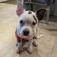 Pictures of Piglet a Pit Bull Terrier for adoption in Dallas, GA who needs a loving home.