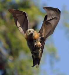 Bat Baby Boomers - Grey Headed Flying Fox. Even momma bats have to land with their babies...DSC_4189 by pppumkine-, via Flickr