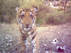 Curious tiger cub smiles for the camera - Science