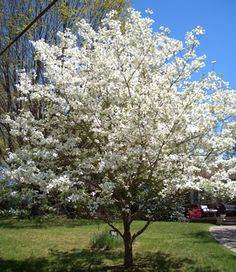 White dogwood...I'd love to have a tree like that! I would rather have a pink, but it's gorgeous!