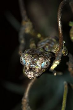Check out the penetrating stare and amazing eyes of one of the most iconic species to be found on Madagascar: the Satanic Leaf Tailed Gecko (Uroplatus phantasticus). It just so happens to have the coolest herp name ever too! #gecko #lizard #reptile