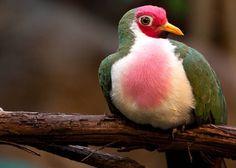 Jambu Fruit Dove   - Photography Blog