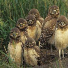 Burrowing owl chicks near nest site.