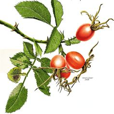 botanische zeichnungen hagebutte - Google Search