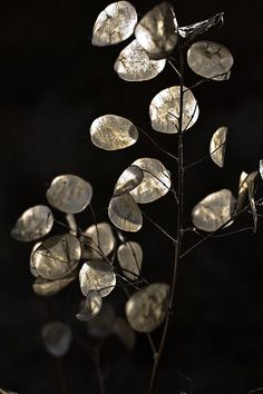 Dried Silver Dollar Plants