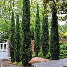 Need privacy trees to help block out your neighbor? Our privacy trees are the perfect solution! Pick and order your fresh privacy trees online today for FAST delivery! Garden Shrubs, Landscaping Plants, Landscaping Ideas, Arborvitae Landscaping, Landscaping Software, Garden Pots, Blue Point Juniper, Italian Cypress Trees, Columnar Trees