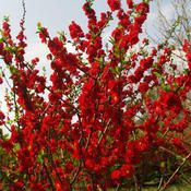 Double Take Quince - Garden Storm. Big dark red double flowers appear in early spring. Drought tolerant once established, this plant may be pruned after flowering. Bright spring color. Good cut flower. Thornless, DEER RESISTANT and does not set fruit.