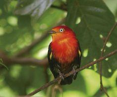 Uirapuru da Amazônia. Brasil