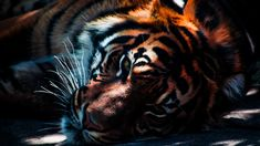 tiger wallpapers background mac