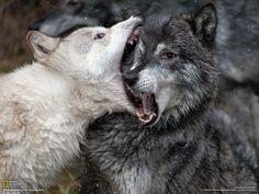 Des loups élevés en captivité se battent - National Geographic France