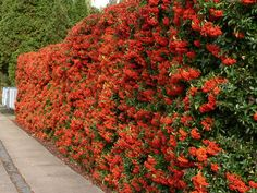 Pyracantha. Evergreen, spiny shrub, up to 3m tall, with small white flowers in late spring.