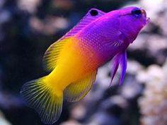 http://www.ultimatereef.net/info/iddb/images/fish/basslets/basslet1.jpg