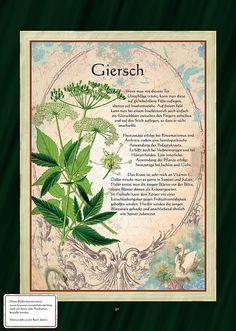 Giersch - Gierschtee - Gierschsalat - New Ideas Healing Herbs, Medicinal Plants, Natural Healing, Hydrangea Care, Hydrangea Flower, Diy Herb Garden, Garden Plants, Garden Ideas, Terrace Garden