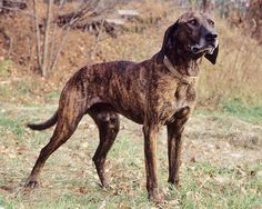 The Plott Hound is a large scent hound, originally bred for hunting boar. The Plott Hound is one of the least known breeds of dog in the United States, even though they are the state dog of North Carolina. Of the seven breeds of United Kennel Club (UKC) registered coonhounds, the Plott Hound does not trace its ancestry to the foxhound. And, of those seven breeds, we can be most certain of the Plott's heritage and the men most responsible for its development.