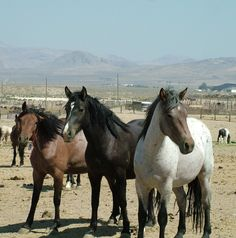 Wild mustangs rounded up by BLM and placed in hot shelterless holding pens