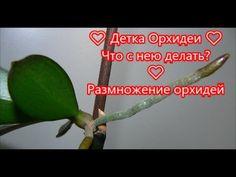 Детка Орхидеи ❤ детка фаленопсиса на цветоносе ❤ Что с нею делать? ❤ Раз...