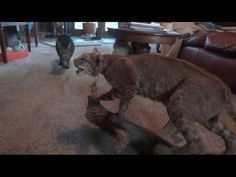 Cats Get Scared of Stuffed Bobcat