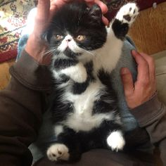 Exotic shorthair cat. They have flat-faced, thick soft fur, large round eyes, stubby legs and fluffy tails.
