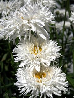 ✯ Chrysanthemum , associatet with the sun. is a protective plant