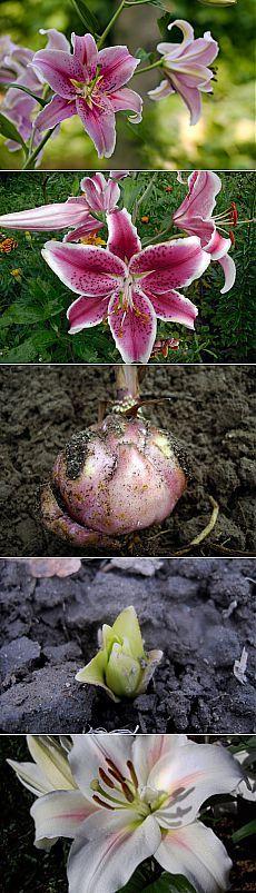 Особенности весенней посадки лилий.  Этот изумительный — поистине королевский — цветок очень популярен у садоводов. Чаще всего луковицы лилий высаживают в грунт осенью. Но наш переменчивый климат и зимние морозы для некоторых видов губительны. К таким неженкам относятся, в частности, распространенные восточные гибриды — изысканные цветы с насыщенным экзотическим ароматом. Их лучше сажать весной, учитывая при посадке капризы и прихоти этих диковинных красавиц.