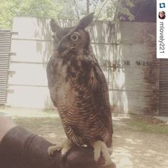 "BR-1 (""Bea Arthur"") says hi! ----- #Repost @mlovely221 with @repostapp.  One of the lovely winged friends I had the absolute pleasure of spending my time with today! Her name was BR-1 but I called her Bea Arthur (get it?) #owls #alabama #alabamawildlife #animals #nature #birds #wildbirds #love #hoothoot #wings"