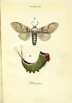 Puss Moth. Butterflies and moths, shown to the children London & Edinburgh,T.C. & E.C. Jack[1910] Biodiversitylibrary. Biodivlibrary. BHL. Biodiversity Heritage Library
