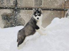 Baby snow husky