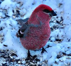 Sax-Zim Bog Birding is definitely exciting!  Many great birds like this Pine Grosbeak to see plus guess what OWL?   http://abirdsdelight.com/sax-zim-bog-birding   #birding #saxzimbog