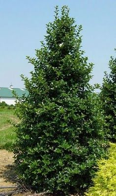 Castle Spire® Holly- Reaches 8 to 12 ft. tall and 3 to 4 ft. wide. Excellent selection with bright red berries, dark glossy foliage, vigorous growth and branching habit on a compact, narrow, pyramidal form. Thrives in damp soil; native to swampy and boggy areas. Great for borders, screens, hedges, foundation plantings. Plant with Castle Wall™ Holly for good berry production. Zone 8