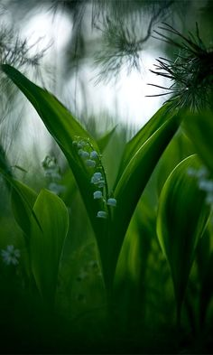 Lily of the valley ... (Photographer Gennady Meshcheryakov).Return of happiness, purity of heart, sweetness, tears of Mary, you've made my life complete, humility, happiness, love's good fortune. The legend of the lily of the valley is that it sprang from Eve's tears when she was kicked out of the Garden of Eden. It is also believed that this flower protects gardens from evil spirits.