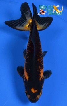 Goldfish - Lovely Wakin