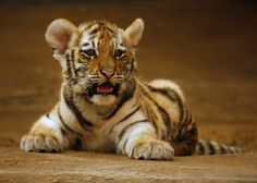 tiger baby II by ariseandrejoice