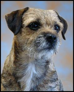 A Border Terrier is a small, rough-coated breed  of dog of the terrier  group. Originally bred as fox and vermin hunters, Border Terriers s...