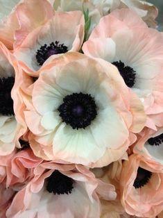 Pretty peachy-edged anemones...